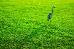 蓝色草极大的苍鹭 库存图片