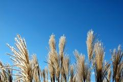 蓝色草用茅草盖天空 库存图片