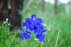蓝色草甸花 库存照片