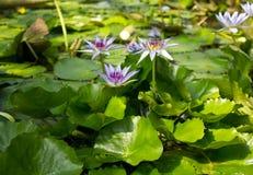 蓝色荷花与叶子的星莲属caerulea特写镜头视图  免版税图库摄影