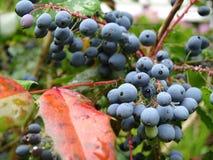 蓝色莓果在庭院里 库存图片