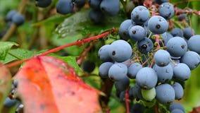 蓝色莓果在庭院里 免版税库存图片