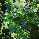 蓝色莓果在意大利,octobre 2018年 库存照片
