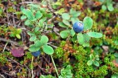 蓝色莓果,蓝莓,叶子 免版税图库摄影