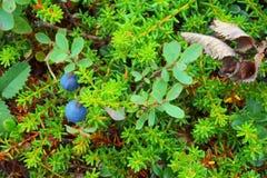 蓝色莓果,蓝莓,叶子 免版税库存图片