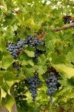 蓝色葡萄在一个酒围场在加拿大 库存照片
