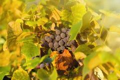蓝色葡萄在日落的,被定调子的图象一个葡萄园里 免版税库存图片