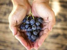 蓝色葡萄在木背景的农夫手上收获 库存图片