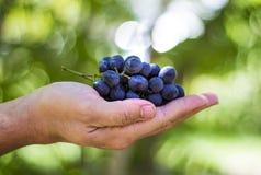 蓝色葡萄在草背景的农夫手上收获 免版税图库摄影