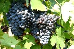 蓝色葡萄酒 免版税库存照片