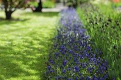 蓝色葡萄风信花穆斯卡里armeniacum和紫色郁金香在a 免版税库存照片