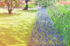 蓝色葡萄风信花穆斯卡里armeniacum和紫色郁金香在a 免版税库存图片