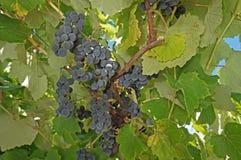 蓝色葡萄 库存照片