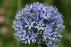 蓝色葱属caeruleum花 免版税库存照片