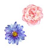 蓝色蒙娜丽莎花,桃红色玫瑰,春天绽放 免版税库存照片