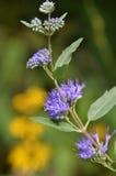蓝色薄雾Spirea特写镜头菊科植物在背景中 图库摄影