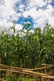 蓝色藤茎天空糖 库存图片
