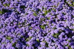 蓝色藿香蓟属 库存图片