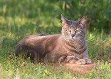蓝色虎斑猫在一片部份树荫下 库存图片