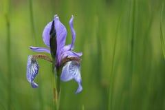 蓝色虹膜在庭院里 库存图片