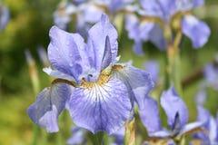 蓝色虹膜日语 库存照片