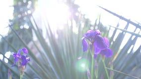 蓝色虹膜花在阳光下与风 r 股票录像