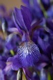 蓝色虹膜花束 库存图片