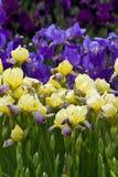 蓝色虹膜西伯利亚黄色 免版税库存照片