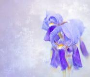 蓝色虹膜 免版税库存图片