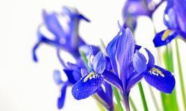 蓝色虹膜 免版税图库摄影