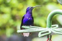 蓝色蜂鸟在哥斯达黎加 库存图片