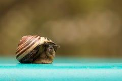 蓝色蜗牛 免版税库存照片
