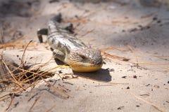 蓝色蜥蜴舌头 图库摄影