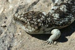 蓝色蜥蜴舌头 免版税库存图片