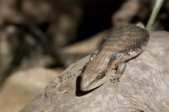 蓝色蜥蜴舌头 免版税库存照片