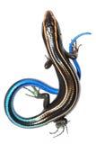蓝色蜥蜴skink尾标 免版税库存图片