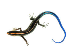 蓝色蜥蜴skink尾标 免版税库存照片