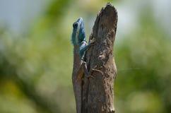 蓝色蜥蜴关闭 免版税库存照片
