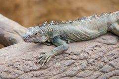 蓝色蜥蜴(剌蜥蜴树serrifer)在树干 免版税库存照片