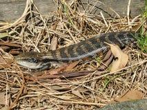 蓝色蜥蜴舌头 库存图片