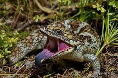 蓝色蜥蜴舌头 库存照片
