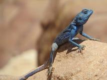 蓝色蜥蜴 库存图片