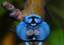蓝色蜻蜓眼睛 免版税库存图片