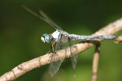 蓝色蜻蜓 免版税库存照片