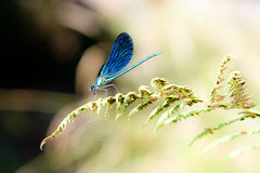 蓝色蜻蜓 免版税库存图片
