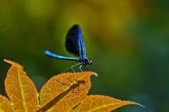 蓝色蜻蜓 库存图片