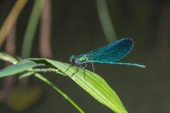 蓝色蜻蜓Calopteryx处女座坐草 库存图片