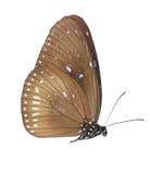 蓝色蝴蝶乌鸦地点 库存照片