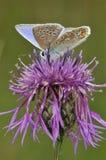 蓝色蝴蝶公用更加极大的黑矢车菊属 免版税库存图片