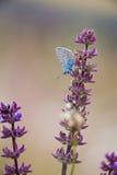蓝色蝴蝶公用 免版税图库摄影